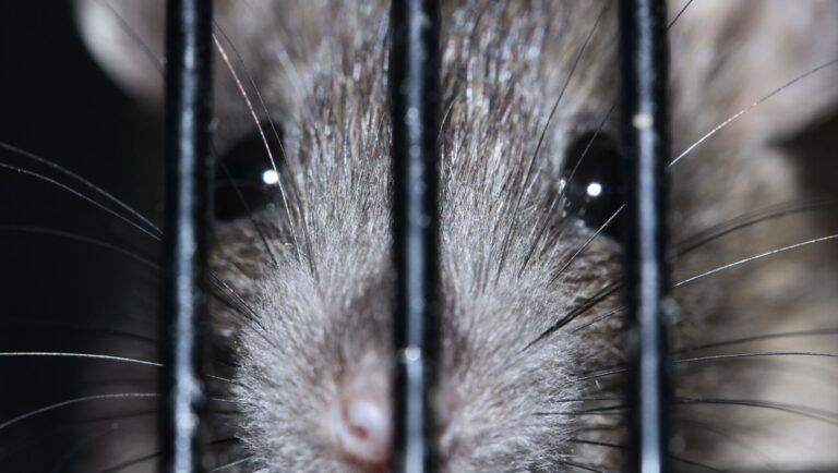 Szczur kraty